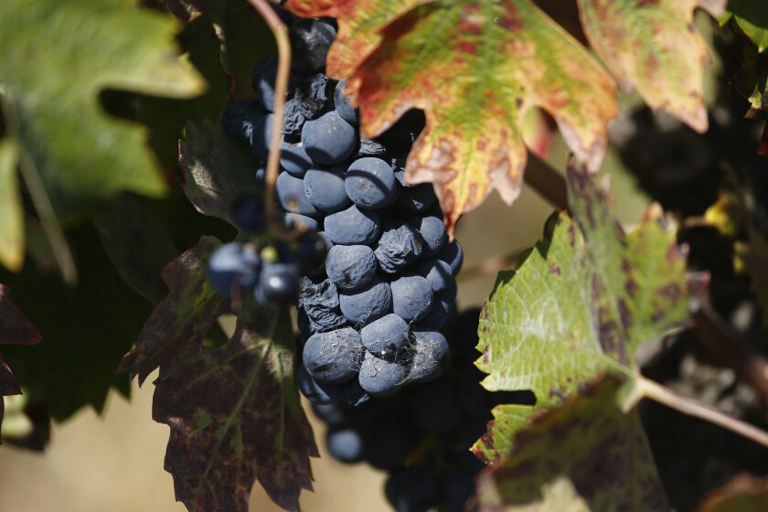 Wine grapes on the  vine in the Russian River Valley of Sonoma County.
