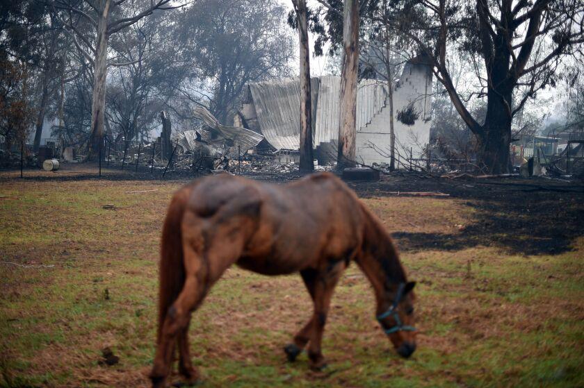 A horse grazes Monday near a fire-ravaged home in Cobargo, Australia.