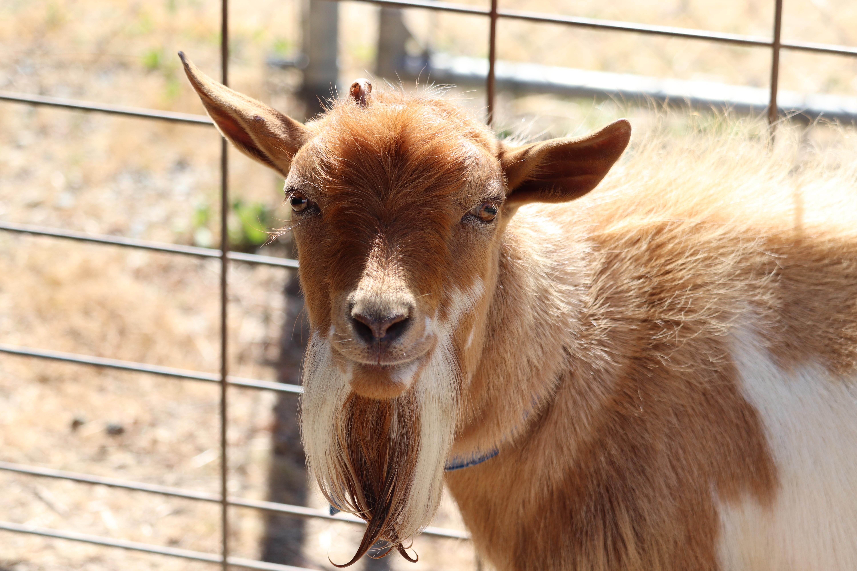 Goat left near busy Oceanside street now back home