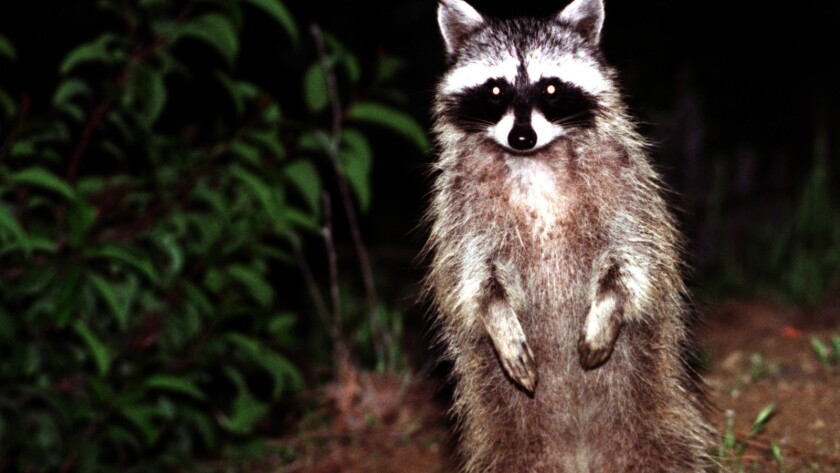 Temple City supermarket busted for selling raccoons as