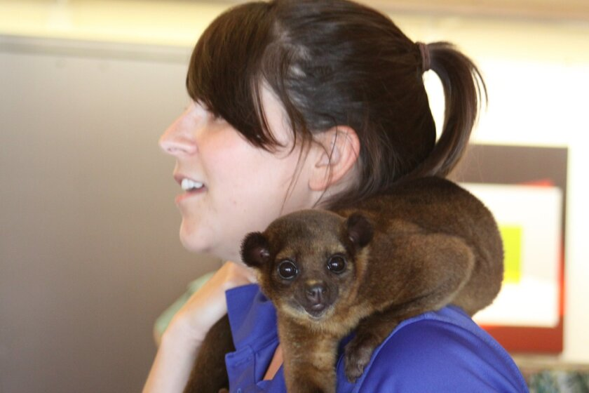 Animal keeper Alanna Cappelli says kinkajous are found in tropical forests from Southern Mexico to Brazil.