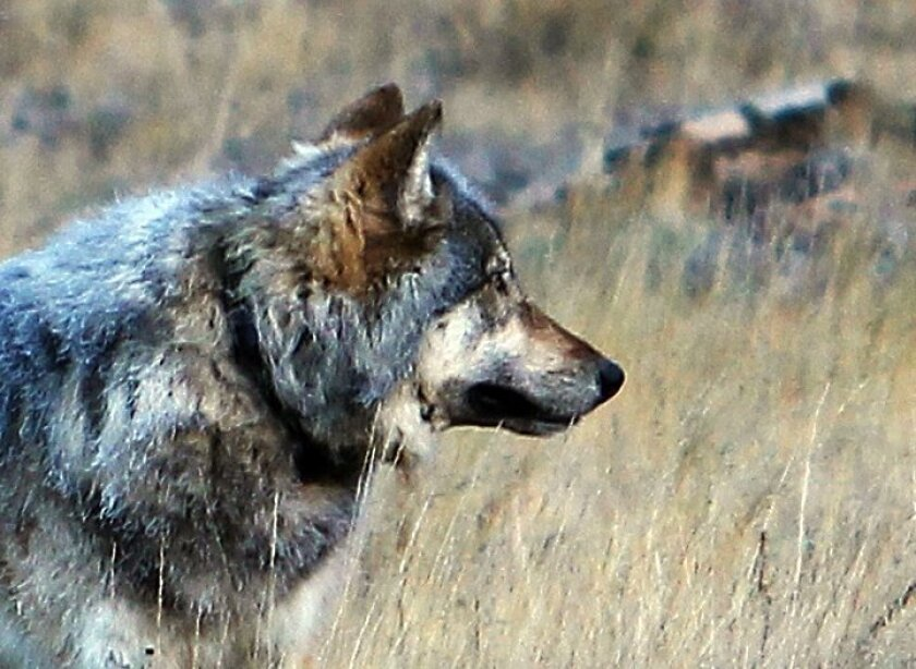 An Oct. 27, 2014, photo from the Arizona Game and Fish Department shows the gray wolf that was spotted north of the Grand Canyon in northern Arizona.