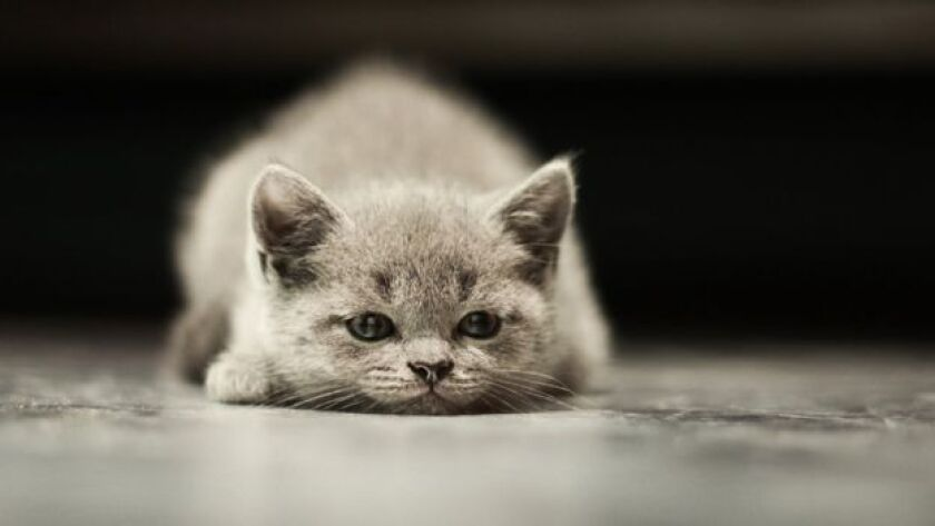 Los gatos empezaron a vivir con el hombre hace al menos 9.000 años, pero sólo fueron semi-domesticados