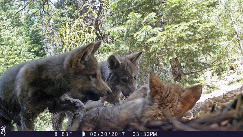 FILE - This June 30, 2017 remote camera image released by the U.S. Forest Service shows a female gra
