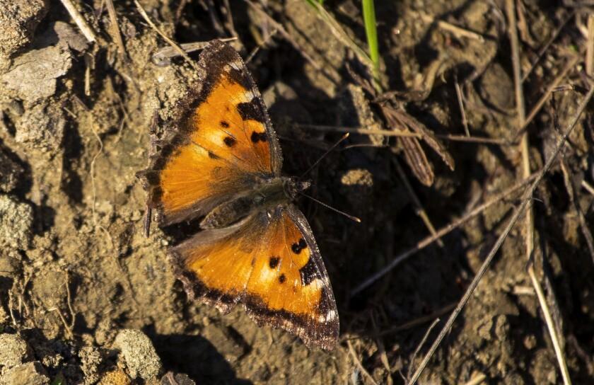 California tortoiseshell butterfly