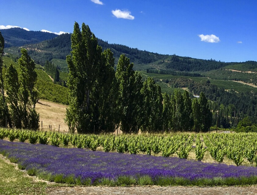 Analemma Winery'€s new Columbia Gorge grape (and lavender) plantings in the Mosier Hills of Oregon.