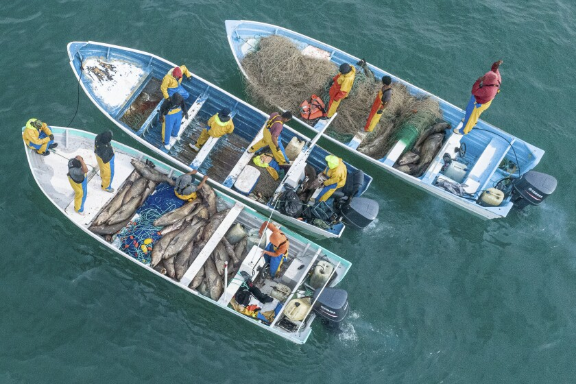 In this Sunday, Dec. 8, 2019 photo released by the Sea Shepherd Conservation Society, dozens of endangered totoaba fish are seen captured inside small fishing boats in the Gulf of California, near San Felipe, Mexico. Sea Shepherd operates in the area to remove the illegal gillnets which also trap the world's most endangered marine mammal, the vaquita porpoise, but the group said the mass fishing seen Sunday was a new tactic, in which a number of boats would surround and enclose totoabas to ensure they couldn't escape the nets. (Sea Shepherd via AP)