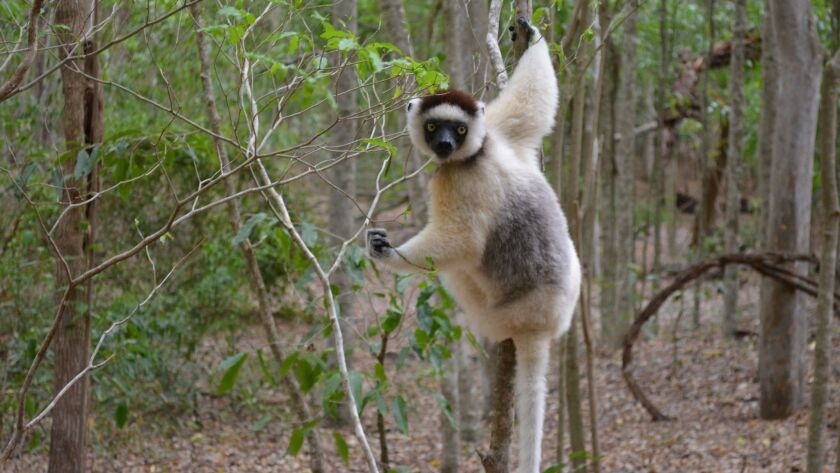 A young sifaka lemur, in a reserve in southern Madagascar