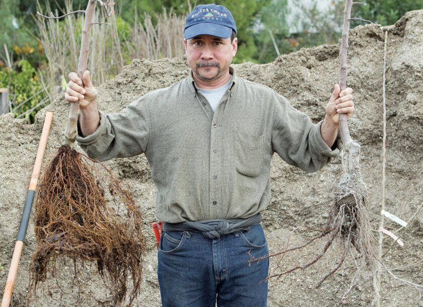 David Archer of Bonita Creek Nursery holds a 2-year-old tree (left) and a 1-year-old bare-root tree.