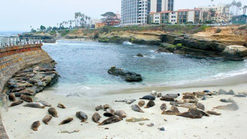 The presence of harbor seals at the Children's Pool in La Jolla generates a lot of interest ... and a lot of controversy. Visitors and residents alike have questions about the seals, and much misinformation abounds. In the interest of setting the record straight, La Jolla Light reached out to a seal expert for all the information we could gather about them. (Photo by Ashley Mackin)