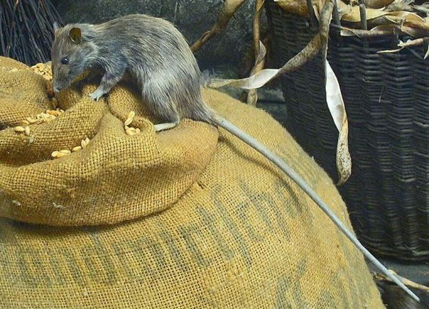 The roof rat — the most common type in San Diego County — like to climb, rather than burrow, and they live above ground.