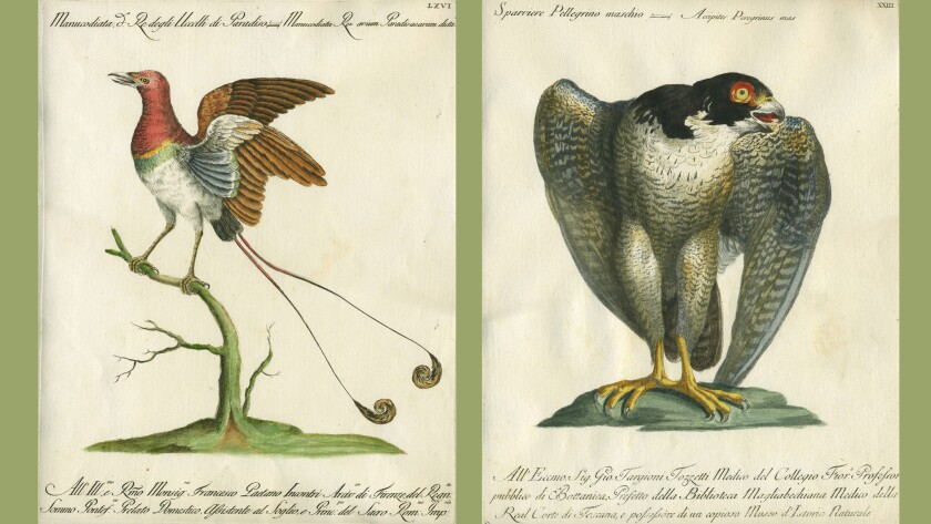 """Two plates from the rare 1765 Italian book, """"A Natural History of Birds"""""""