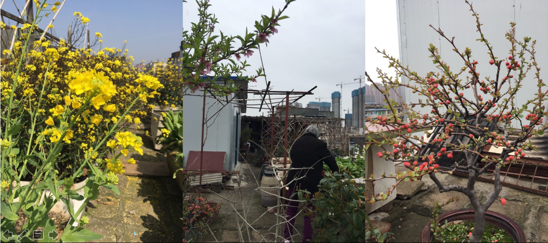 Mr. Yang's father's rooftop garden, which he and his mother now maintain.