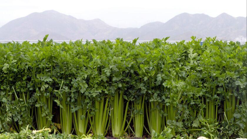 Mission celery growing at Deardorff Family Farms in Oxnard 4/30/2019 © David Karp