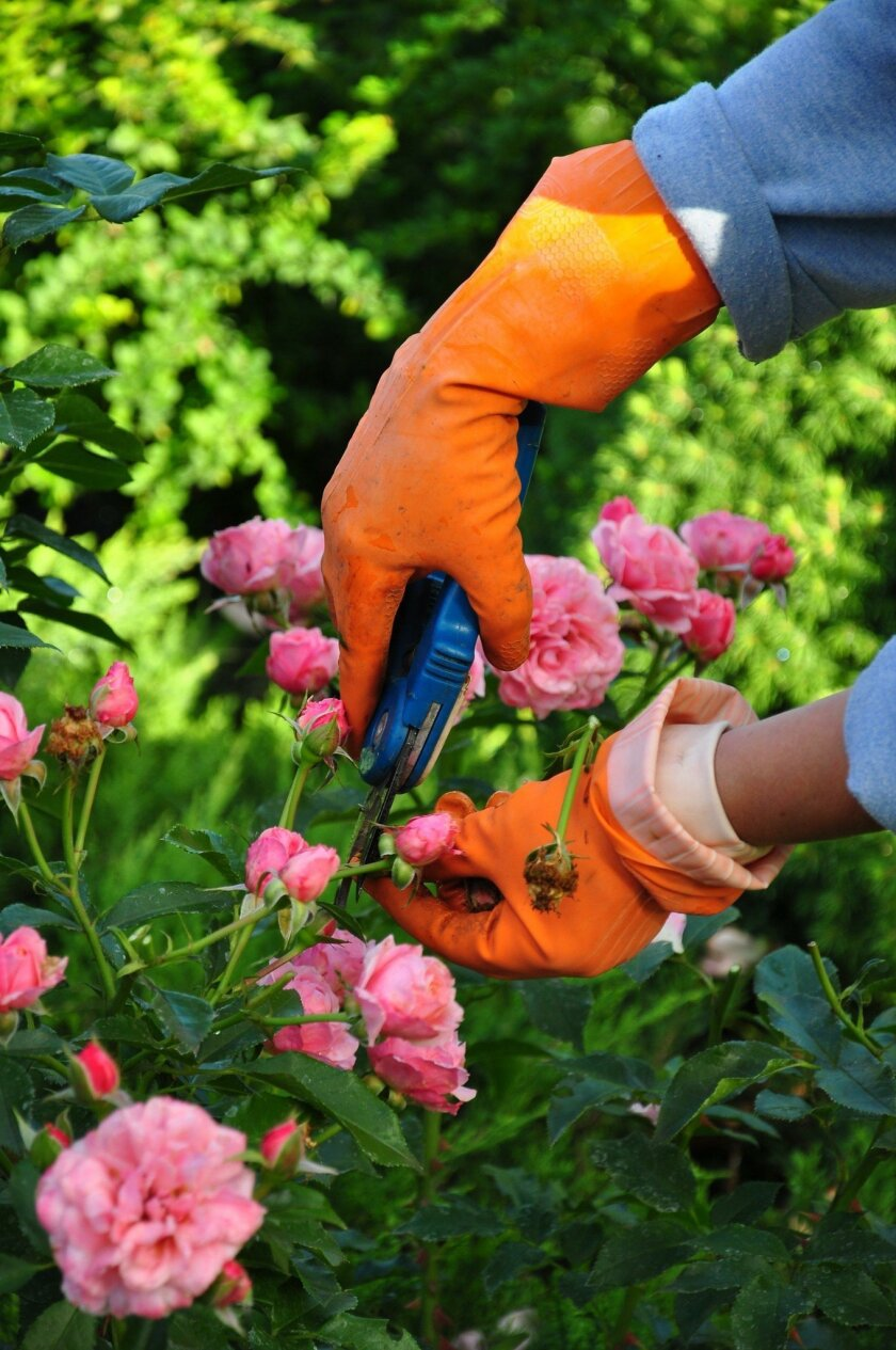 Wear sturdy gloves to protect your skin when pruning roses and other thorny plants.