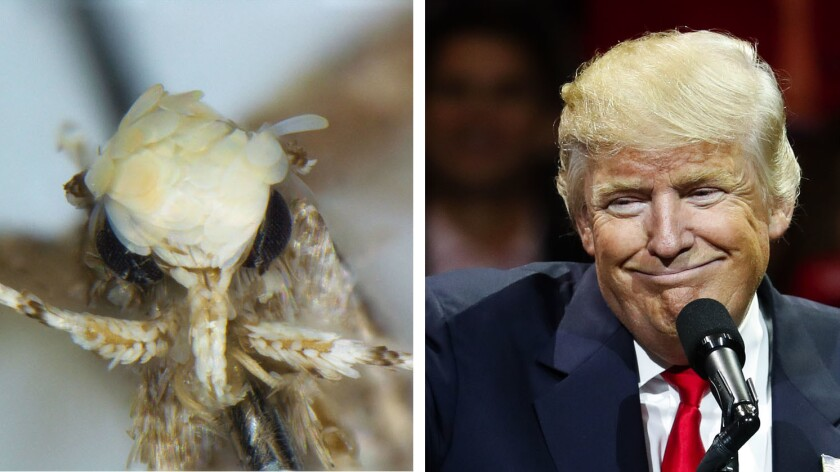 A newly discovered moth species was named after President-elect Donald Trump because the white and yellow scales on its head are reminiscent of Trump's hairdo. (Vazrick Nazari)
