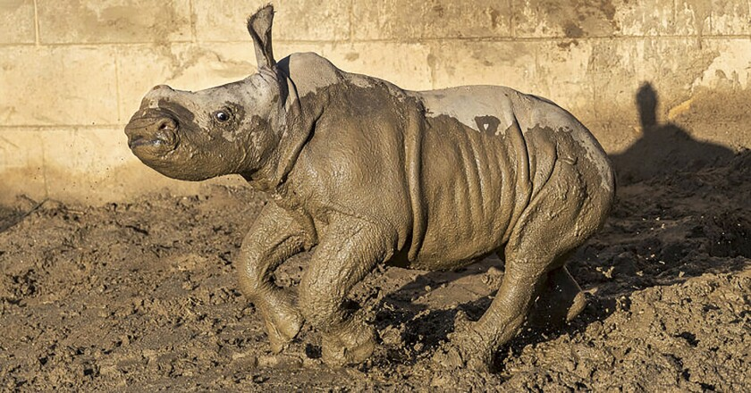 """This Monday, Dec. 9, 2019 photo from the San Diego Zoo shows a 19-day old white rhino that has been named Future for what the baby represents to rhino conservation worldwide, at San Diego Zoo Safari Park in Escondido, Calif. The calf is bonding with her mother and frolicking in the maternity yard left wet by recent storms. """"Future's new favorite thing is mud,"""" zookeeper Marco Zeno said in a statement. """"She sees a puddle and she wants to roll in it!"""" The female southern white rhino was born Nov. 21 to to an 11-year-old mother named Amani. (Ken Bohn/San Diego Zoo via AP)"""
