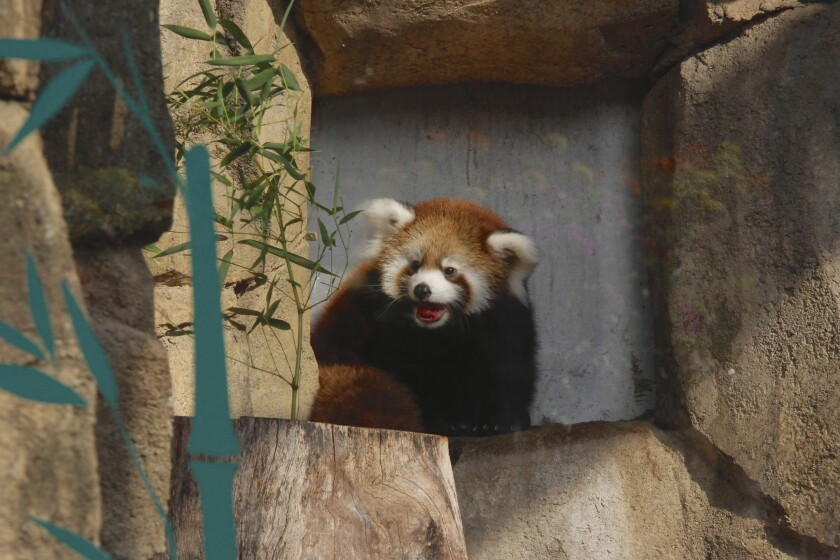 Kiki a red panda is seen in the pandas' outdoor exhibit at the Milwaukee County Zoo Sept. 20, 2019, in Milwaukee. Kiki was born in June and is the second cub for mother, Dr. Erin Curry and father, Dash. Red pandas are considered to be endangered due to deforestation, poaching and trapping. (AP Photo/Carrie Antlfinger)