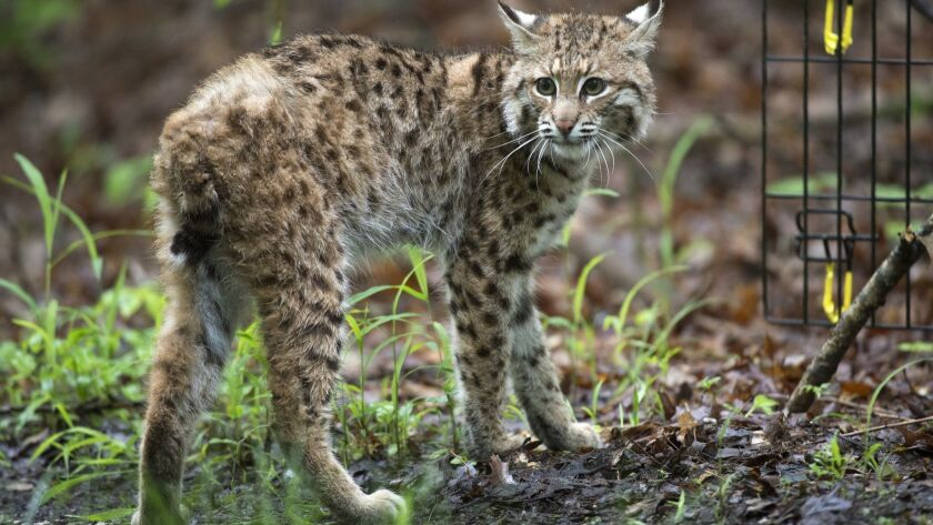 In a Saturday, May 21, 2016 photo, a young bobcat looks around as it is released in the forest near