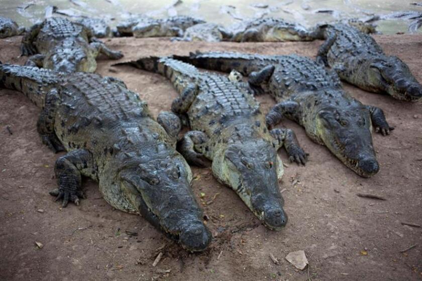 Un joven de 23 años que saltó a un estanque con cocodrilos en un zoo de la ciudad de San Agustín (norte de Florida) y resultó herido fue condenado a un año de cárcel y a pagar una multa de 5.450 dólares, informaron hoy medios locales. EFE/Archivo