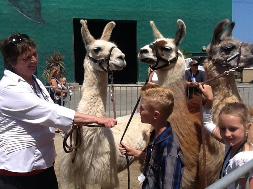 Patti Oxenham, left, and her grandchildren, Ryan Lusk and Caitlynn Moen, get ready to head back to the barn after showing llamas Sunday at the San Diego County Fair.