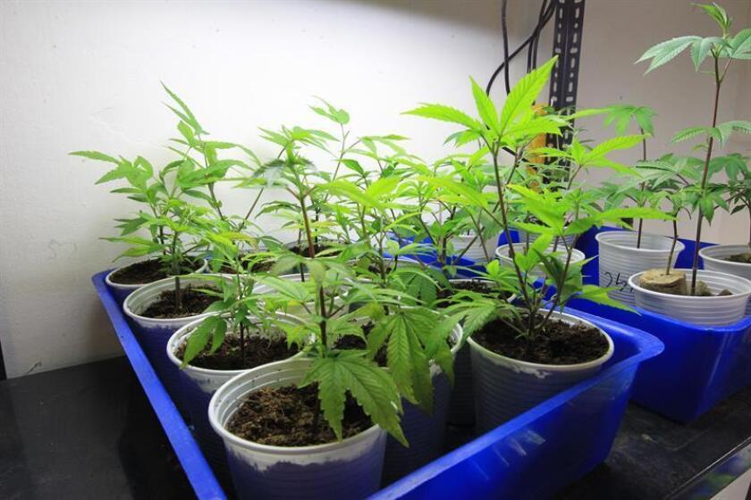 Agentes federales y policías de varias jurisdicciones decomisaron hoy miles de plantas de marihuana durante un operativo en barrios acaudalados de la zona metropolitana de Denver contra el mercado negro, según un reporte de la Agencia Antidrogas de Estados Unidos (DEA). EFE/ARCHIVO