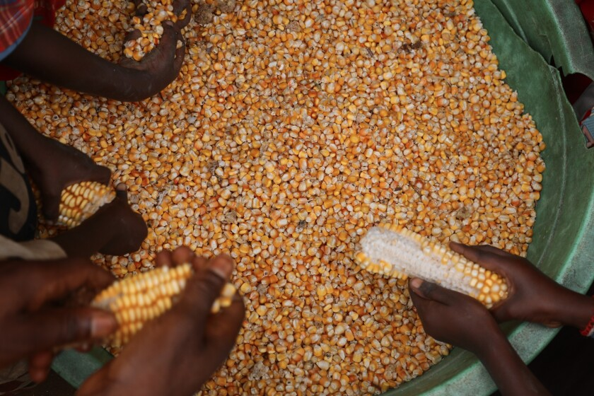 Villagers prepare corn grown in the community forest for sale.
