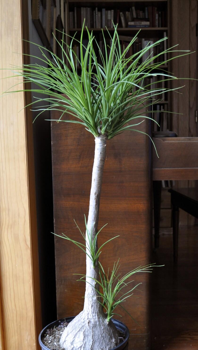 Gardening Ponytail Palm