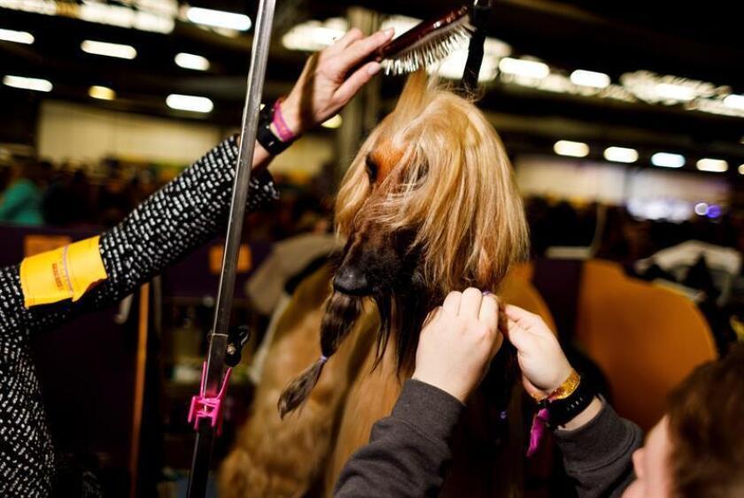 Un lebrel afgano se prepara para competir en el concurso de perros del club Westminster Kennel en Nueva York (Estados Unidos), este lunes. EFE