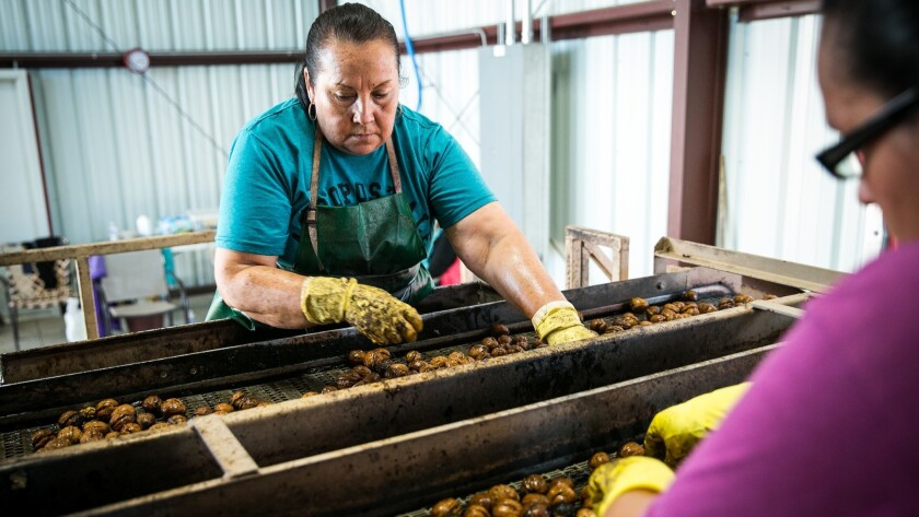 Norma Rodriguez, left, and Lilia Ochoa sort walnuts at Jake Wenger's farm in Modesto, California, Oc