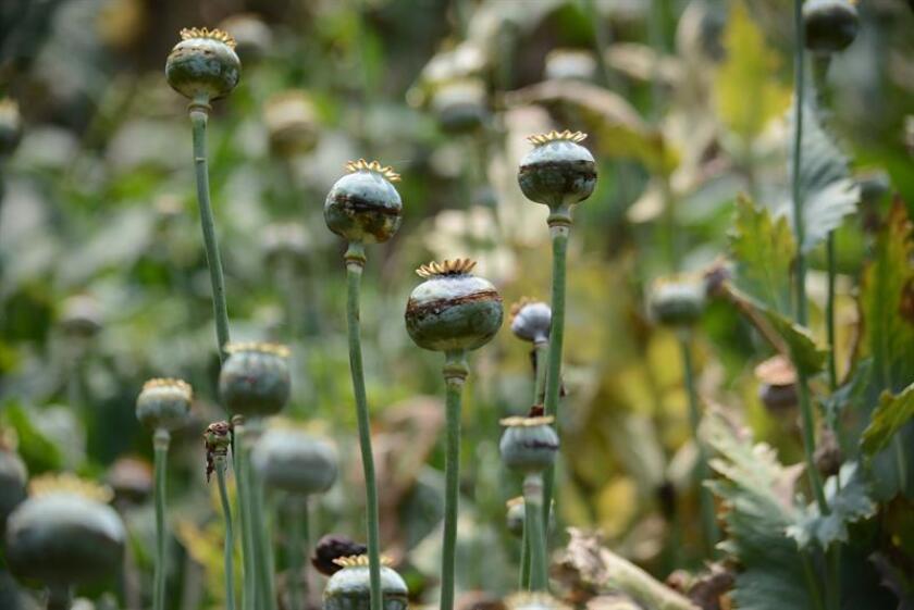 """La superficie de cultivos de amapola en México aumentó un 21 % entre 2015 y 2017, según el informe """"México - Monitoreo de Cultivos de Amapola"""" presentado hoy por el Gobierno mexicano y la Oficina de las Naciones Unidas contra la Droga y el Delito (UNODC por sus siglas en inglés). EFE/ARCHIVO"""
