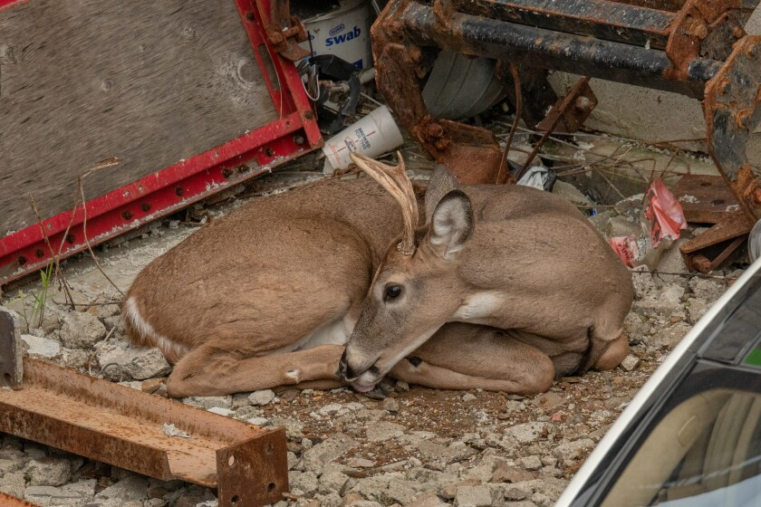This buck was found hanging out inside a parking area for several hours before being nabbed by ESU Officers on 15th Street in Brooklyn on Monday.