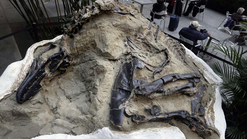 """""""Dueling dinosaur"""" fossil."""