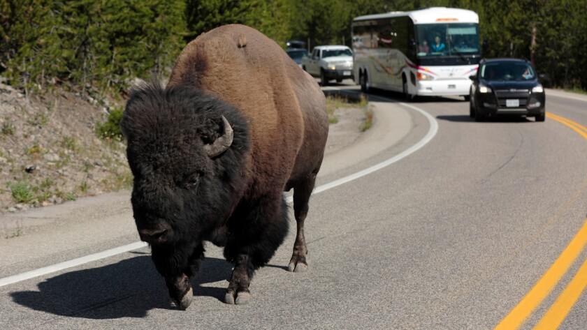 Rush hour in Yellowstone National Park is a little different than in other parts of the country. Here, a bison lumbers down the highway near Madison Junction.
