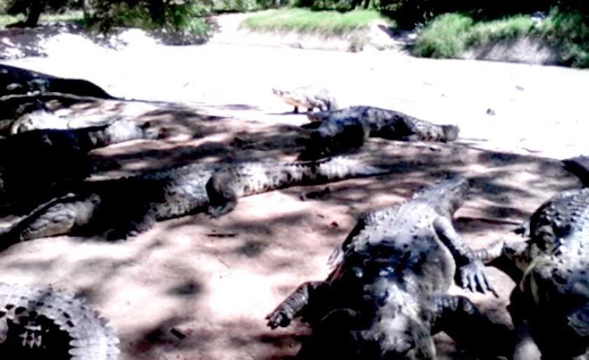 Investigación de EE.UU. deja miles de cocodrilos hambrientos