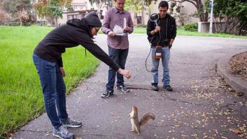 Cómo piensan las ardillas? En un laboratorio de Berkeley estudian al roedor  más venerado del campus - Hoy Los Ángeles
