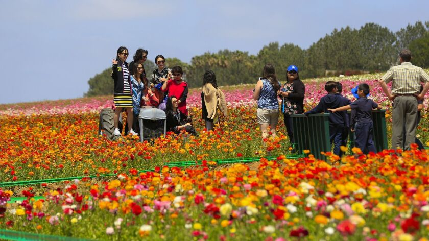 The Flower Fields at Carlsbad Ranch opens March 1 and runs through May 12.