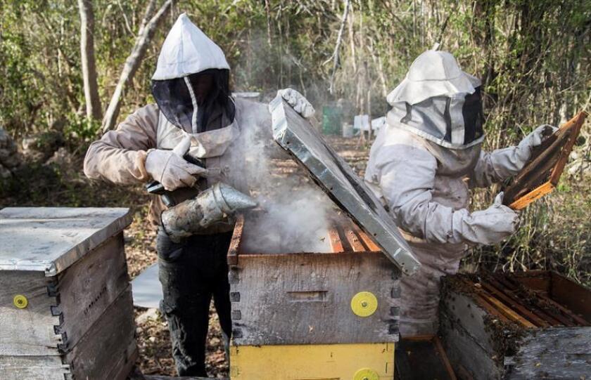 Fotografía fechada el 19 de febrero de 2019, que muestra a apicultores mientras trabajan, en la comunidad de Sinaché, en el estado de Yucatán (México). EFE