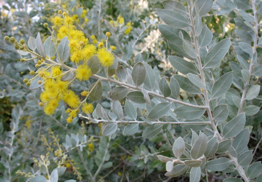 Acacia podalyriifolia, known as pearl Acacia.