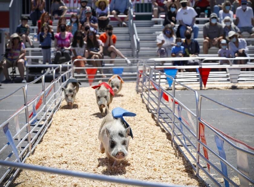 Swifty Swine Racing Pigs