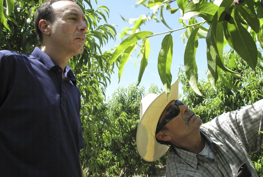 FILE - In this April 29, 2014, file photo, Dan Gerawan, owner of at Gerawan Farming, Inc., left, talks with crew boss Jose Cabello in a nectarine orchard near Sanger, Calif. A judge in California says one of the largest fruit growers in the nation committed unfair labor practices trying to block the United Farm Workers from representing its workers. Administrative law judge Mark Soble says Gerawan Farming tainted a vote nearly two years ago by workers asked if they want the union's representation, or not. The votes remain uncounted. (AP Photo/Scott Smith, File)