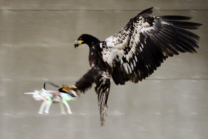 Es esta imagen difundida por la policía holandesa, un águila entrenada agarra a un dron volador. La policía trabaja con una compañía con sede en La Haya que entrena águilas y otras aves para capturar pequeños drones y agarrarlos en sus talones en zonas en donde están prohibidos, como en grandes eventos al exterior (Policía holandesa vía AP)