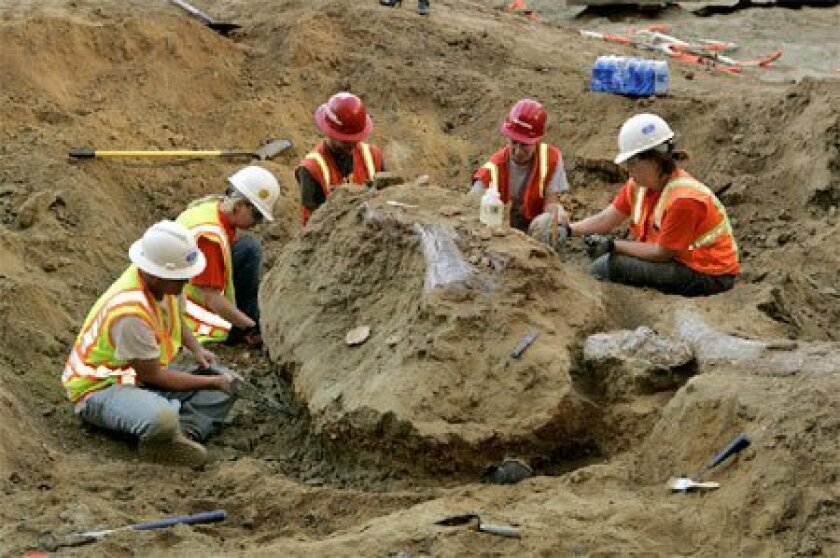 Construction workers discovered the remains of an adult Columbian mammoth this week at the future site of the Thomas Jefferson School of Law. San Diego Natural History Museum employees Pat Sena, (from left) Sarah Siren, Chris Plouffe, Jennifer Nash and Maggie Carrino worked to uncover a skull (center) and tusk (right). Paleontologists from the museum estimate the remains are about 500,000 years old. (Laura Embry / Union-Tribune)