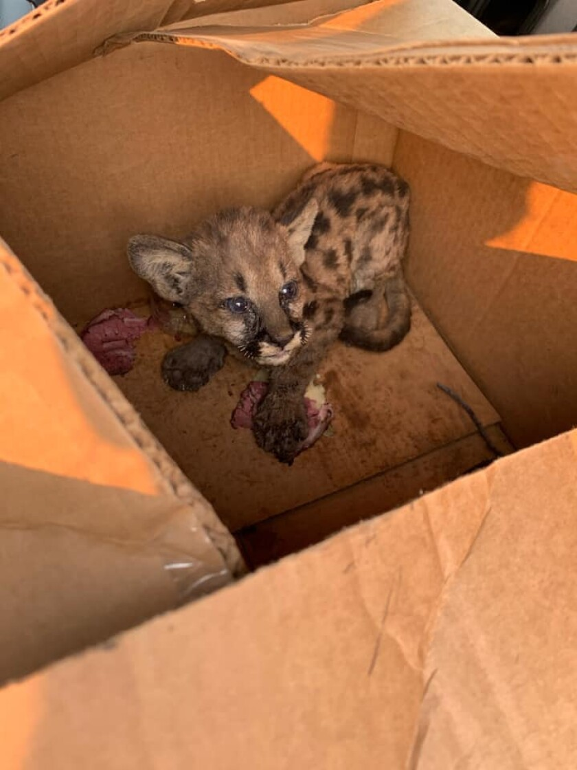 Cal Fire and Shasta County Sheriff's Office officials rescued a mountain lion cub from the Zogg fire on Wednesday.