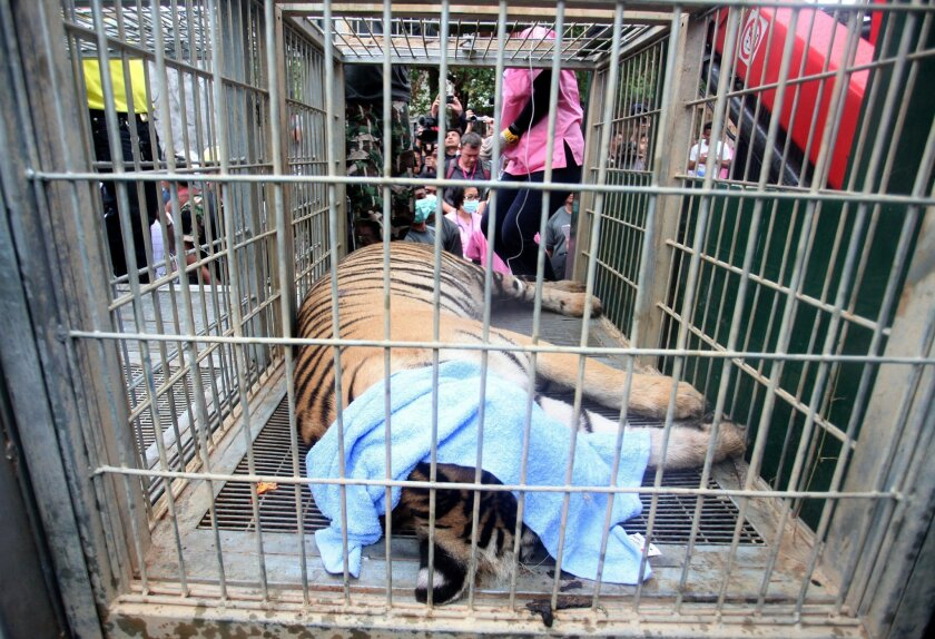 """In this Monday May 30, 2016 photo, a sedated tiger lies in a cage at the """"Tiger Temple"""" in Saiyok district in Kanchanaburi province, west of Bangkok, Thailand.  Wildlife officials in Thailand on Monday began removing some of the 137 tigers held at a Buddhist temple following accusations that the mo"""