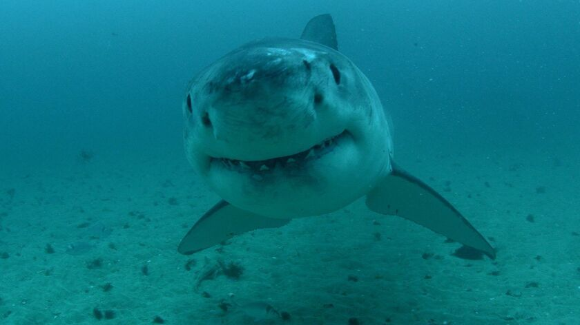 """""""Shark Week"""" continues with three new specials on the Discovery Channel."""