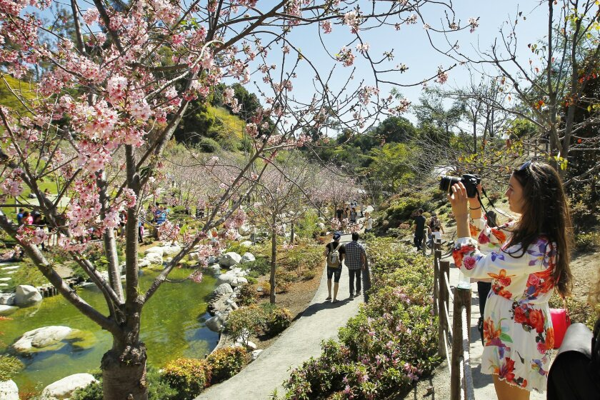 Cherry trees were in full bloom at the 10th annual Cherry Blossom Festival at the Japanese Friendship Garden in Balboa Park.