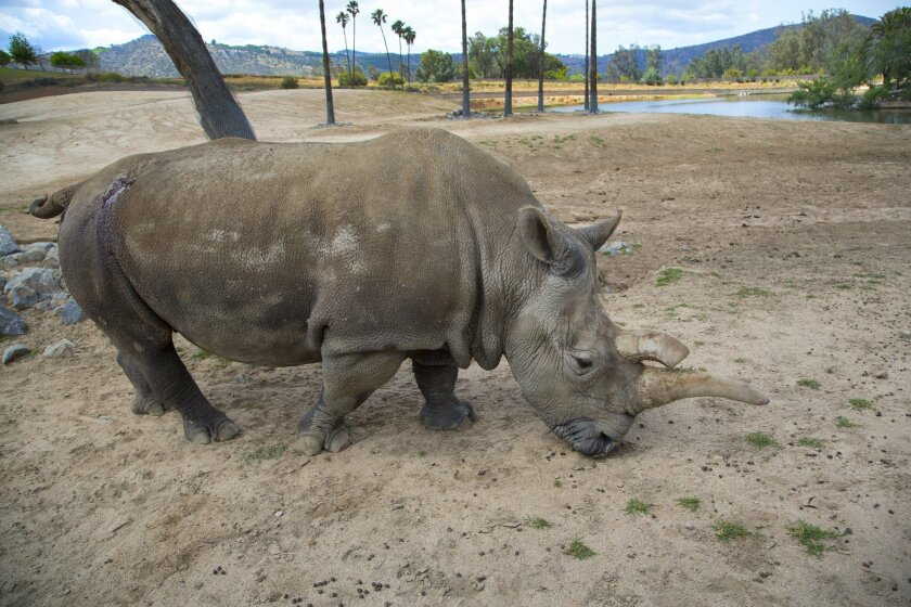 Nola the critically-endangered 41-year-old northern white rhinoceros roams an exhibit at San Diego Zoo Safari Park on May 13, 2015. Park veterinarians are treating an abscess visible above her rear right hip.