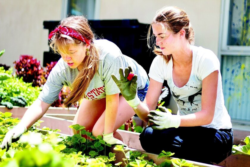 Second-year student Mackenzie Matheson (left) and first-year student Devon Brook harvest fresh strawberries from Ellie's Garden on the UCSD campus.  Erika Johnson/UCSD University Communications