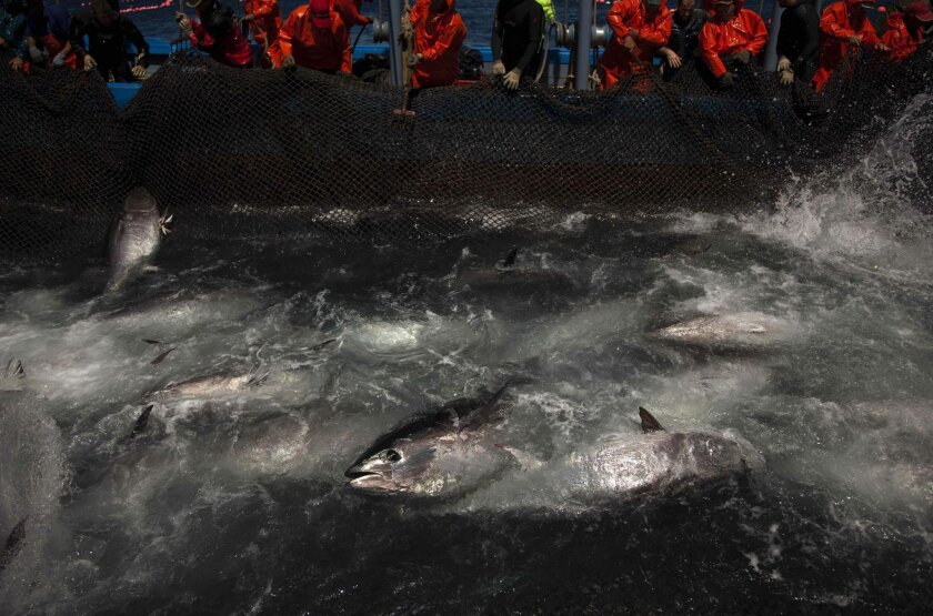 FILE - In this Wednesday, April 27, 2011 file photo, Atlantic bluefin tuna are surrounded by fishing nets during the opening of the season for tuna fishing off the coast of Barbate, Cadiz province, southern Spain. The European Union is looking into reports that cheap seafood is often mislabeled as